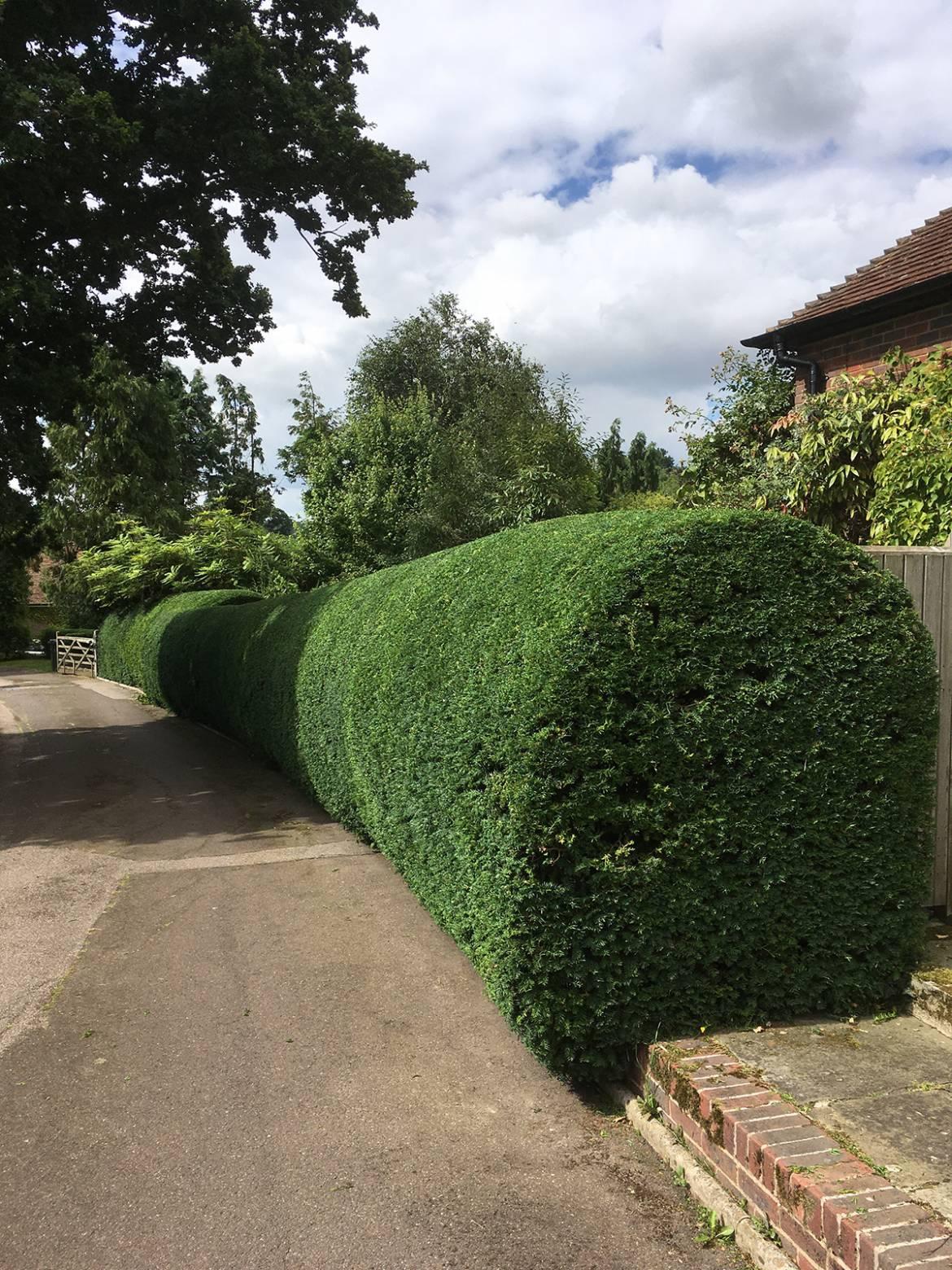 GSH-Tree-Surgery-East-Sussex-Kent-Hedge-Cuttin-4.jpg